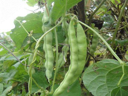 Bean Images